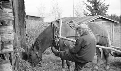 Hevosen Valjastus