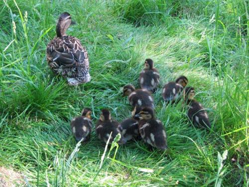 Siellä ne pikkuiset mennä vipeltää äidin perässä.   Kuvat Lissu