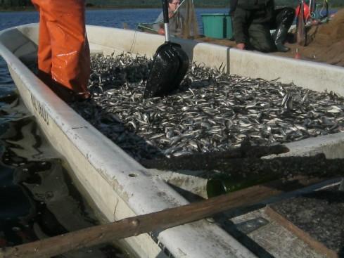 3100 kg Sääperin pikkukalaa.