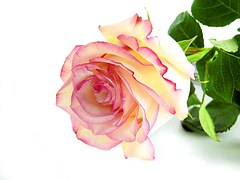 rose-1356780__180