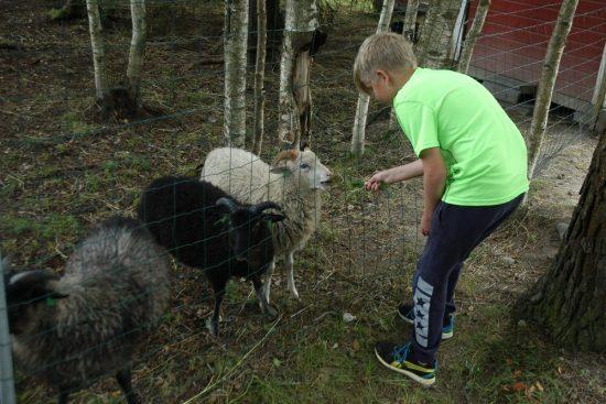 Lukas syöttää lampaita