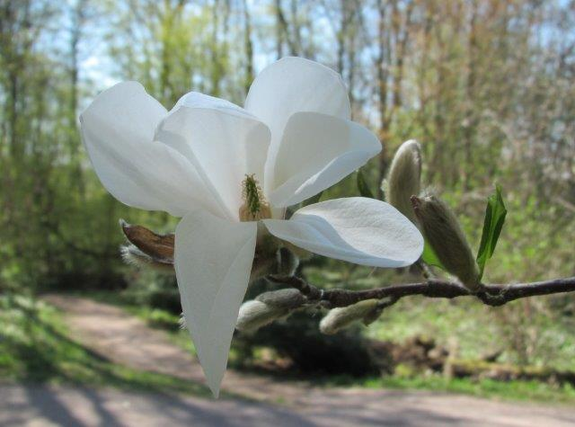 Japaninmagnolia kukki toukokuun puolivälissä