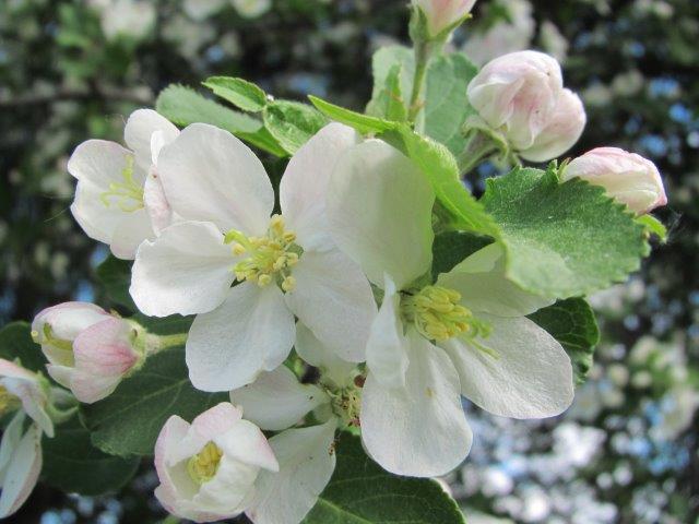 Omenapuun  kukkia Tuomarinkylässä 28.5