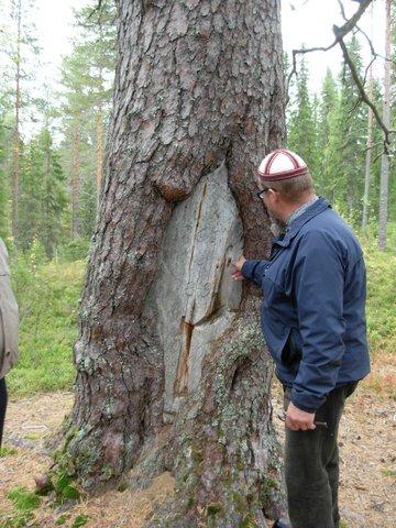 Opas Heikki Ovaskainen esittelee karsikkopetäjään kaiverrettuja vuosilukuja.