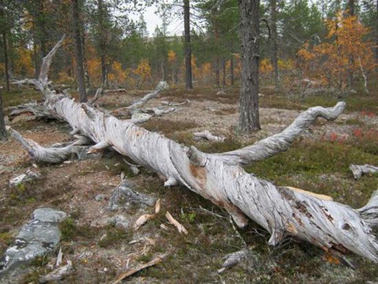 Ikiaikaista puuta.