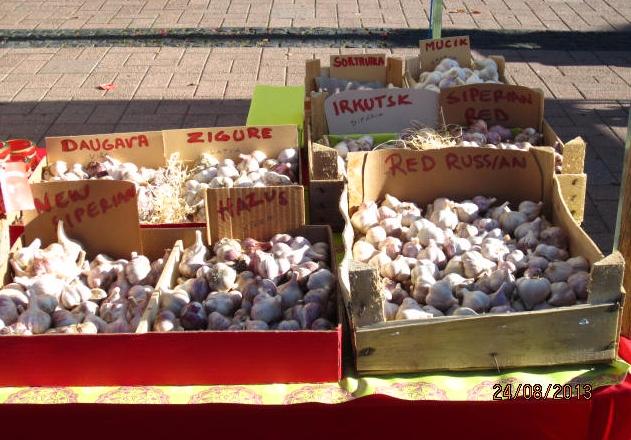 Kuvassa on Purolan tilan talvivalkosipuleita toritapahtuman TUHAT JA YKSI MAKUA myyntipöydällä Joensuussa. Tämän kesän valkosipuli ei ole suurta mutta napakan sanonpa suorastaan tujakan makuista tuotetta.