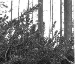 Koristeena käytetty Lieko-kasvi. Tämän kasvin siitepöly palaa ruudin lailla. Älä kokeile kuivassa metsässä.