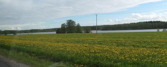 Tämä ei ole Kejosen peltoa.. Nämä keltakukat lienevät voikukkia.