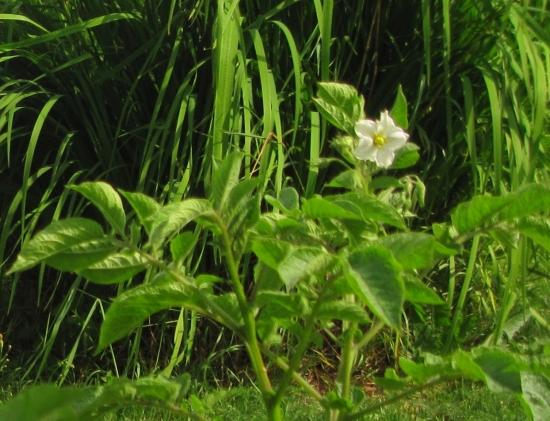 Valkoinen kukka.