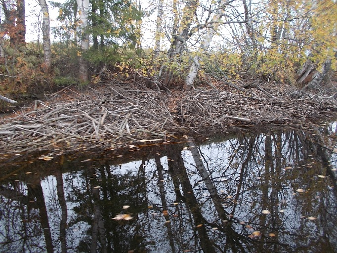 Alhaalla oleva vesi paljastaa majavan tekosia
