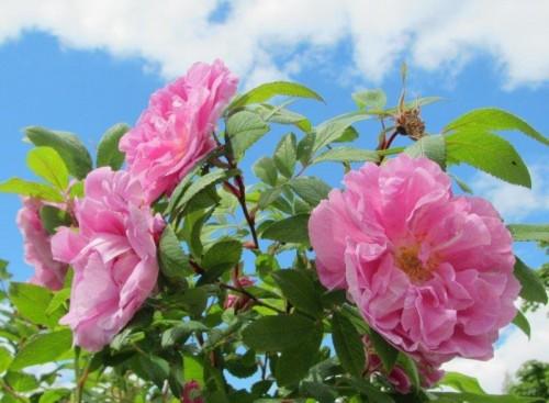 ruusuja kuva Lissu Kaivolehto