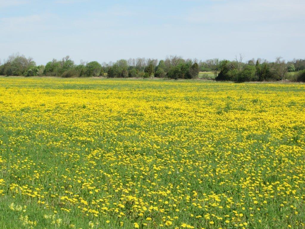 Jos voikukkia olisi vaikea kasvattaa, ne olisivat tervetulleita hienoimmillekin nurmikoille.  (Andrev V. Mason)