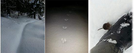 Paksumpaan lumeeen tallattu polku häämöttää lumen alta. Keskellä metsähiiren jäljet ja oikealla saappaasta kiinnostunut metsähiiri. Lieneekö tullut kiittämään pähkinöistä vai kerjäämään uutta. Hän sai pähkinän.